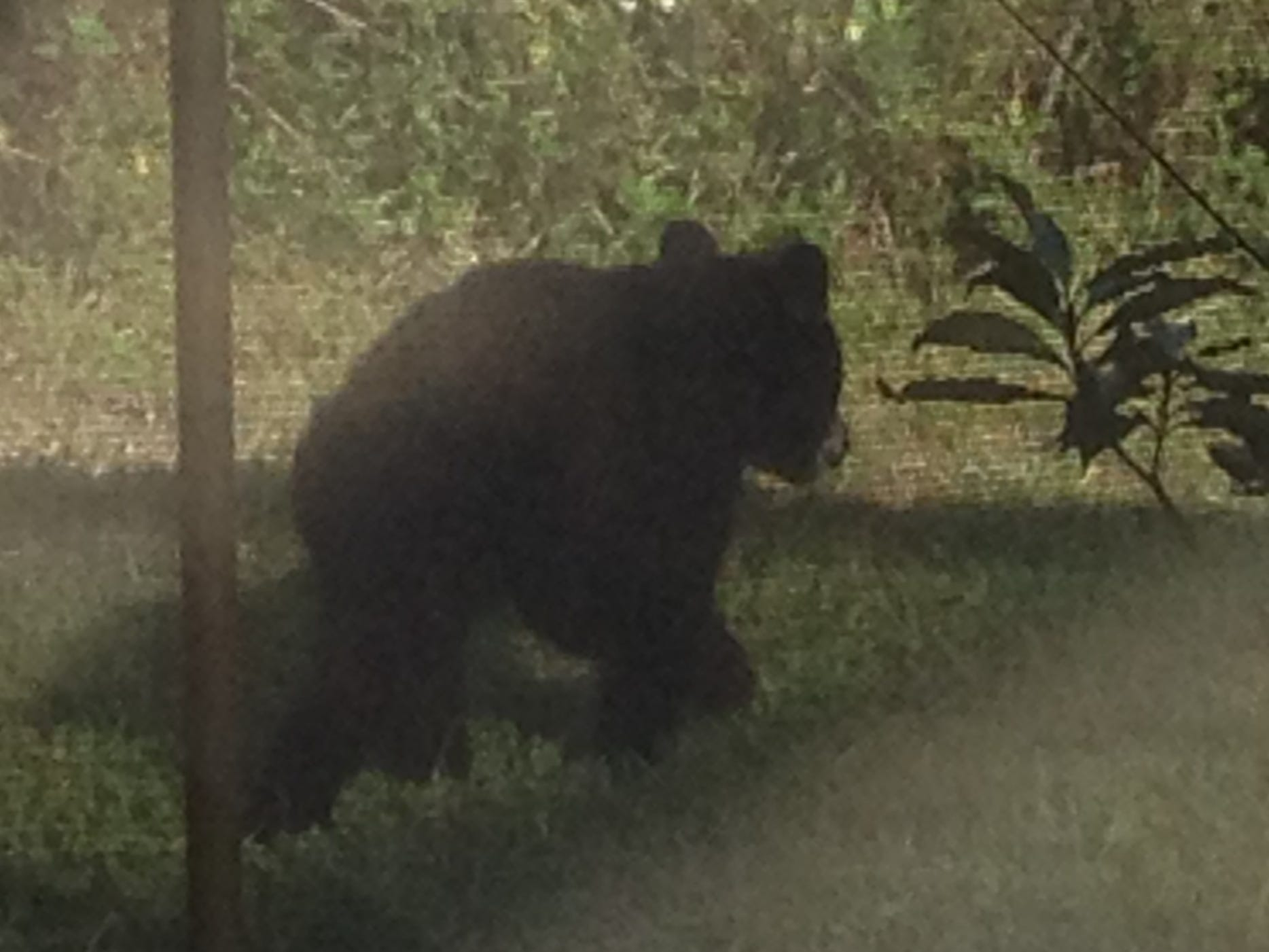 This 2013 photo was taken from a Golden Gate backyard. For nine years, the homeowner has seen bears passing through.