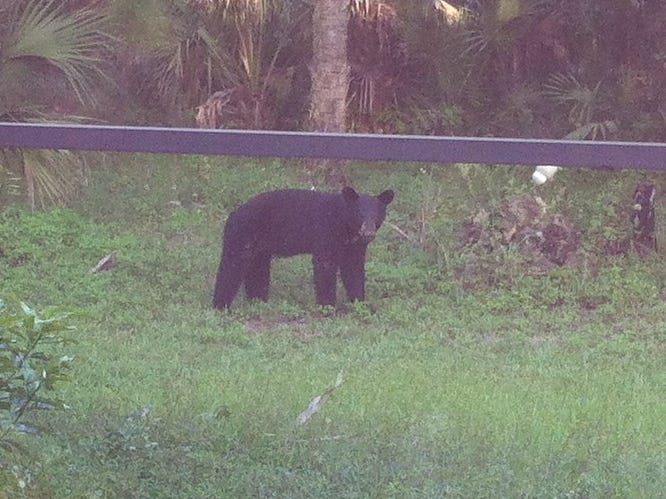 This 2009 photo was taken from a Golden Gate backyard. Since then, the homeowner has continued to see bears passing through.