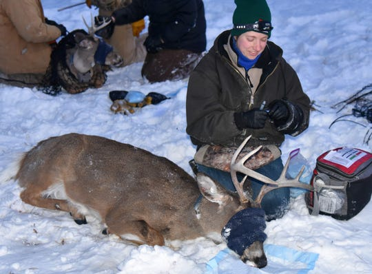 Deer afflicted with chronic wasting disease look healthy until their final few weeks of life. These two bucks appeared healthy when captured in February by the Wisconsin DNR. Tissue samples, however, revealed both bucks had CWD.