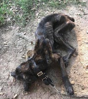 Champ the dog was found in Laurens County on Aug. 15, 2018. He had been starved and covered in maggots when he was recovered.