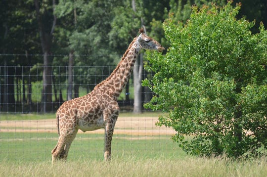 A young giraffe named Stix is a popular attraction at McClain Safari Tours.