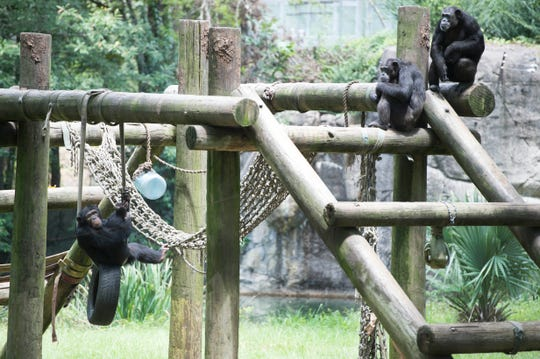 Chimpanzees lounge around during the mid August heat in their compound at the Jackson Zoo. Thursday, Aug. 16, 2018.