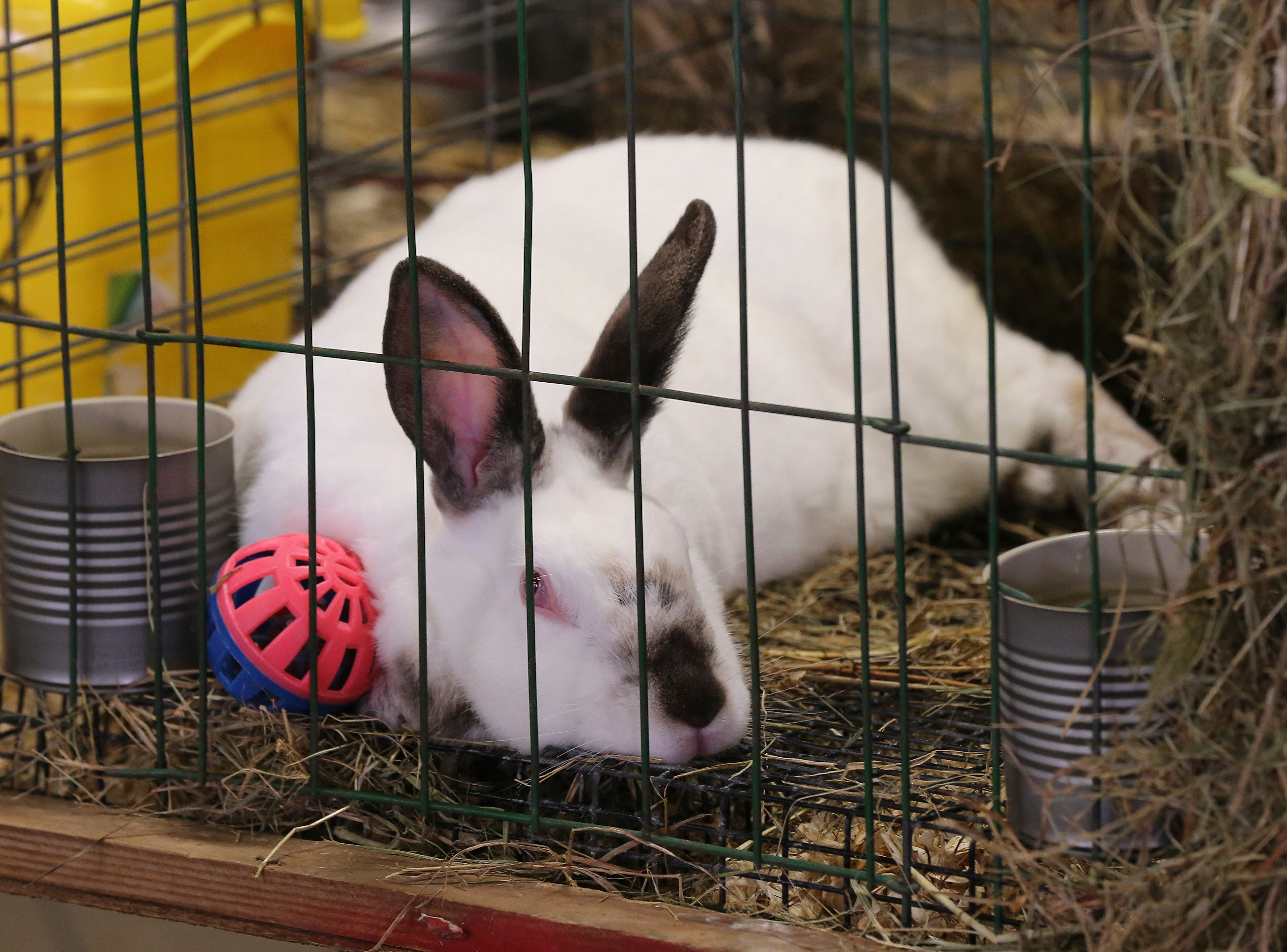 Rabbits are exhibited during the first day of the Kentucky State Fair.