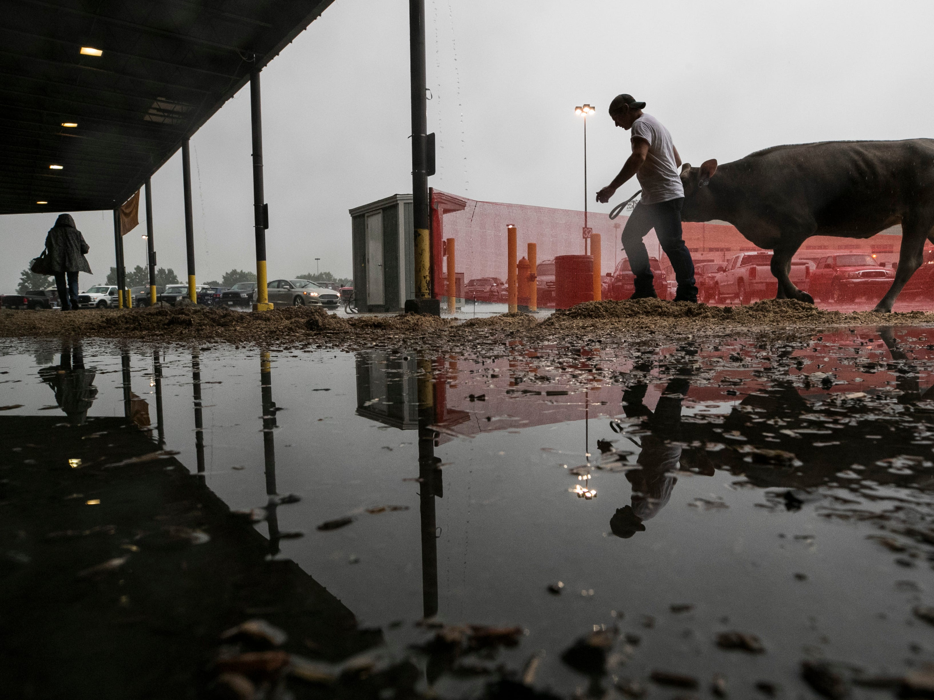 It was a wet morning as dairy cattle contestants led their animals to Broadbent Arena for judging on the opening day of the 2018 Kentucky State Fair.