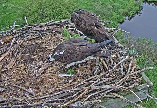 Ospreys with their eggs on the nest at Woodland Dunes on the osprey webcam, June 2018.