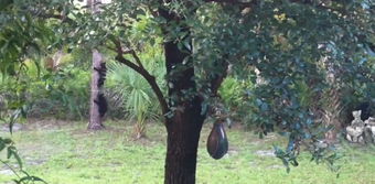In this 2012 video, bear cubs are seen playing around and climbing a tree in an Estates backyard.