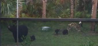 In this 2012 video, a mother bear was spotted with her four cubs hanging out in a Golden Gate Estates backyard.