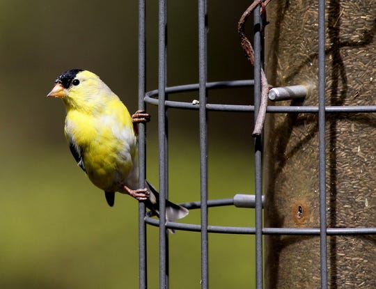 The American goldfinch is New Jersey's official state bird.