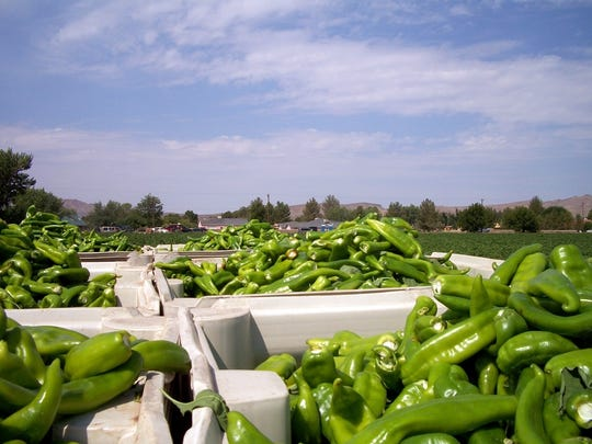 Chile is the more common crop in southwestern New Mexico.