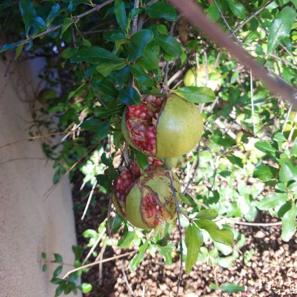 Southwest Yard and Garden: Pomegranates are bursting open too early