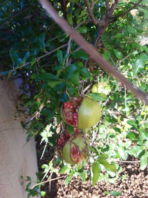 Pomegranates that split before they are ripe is a real problem.