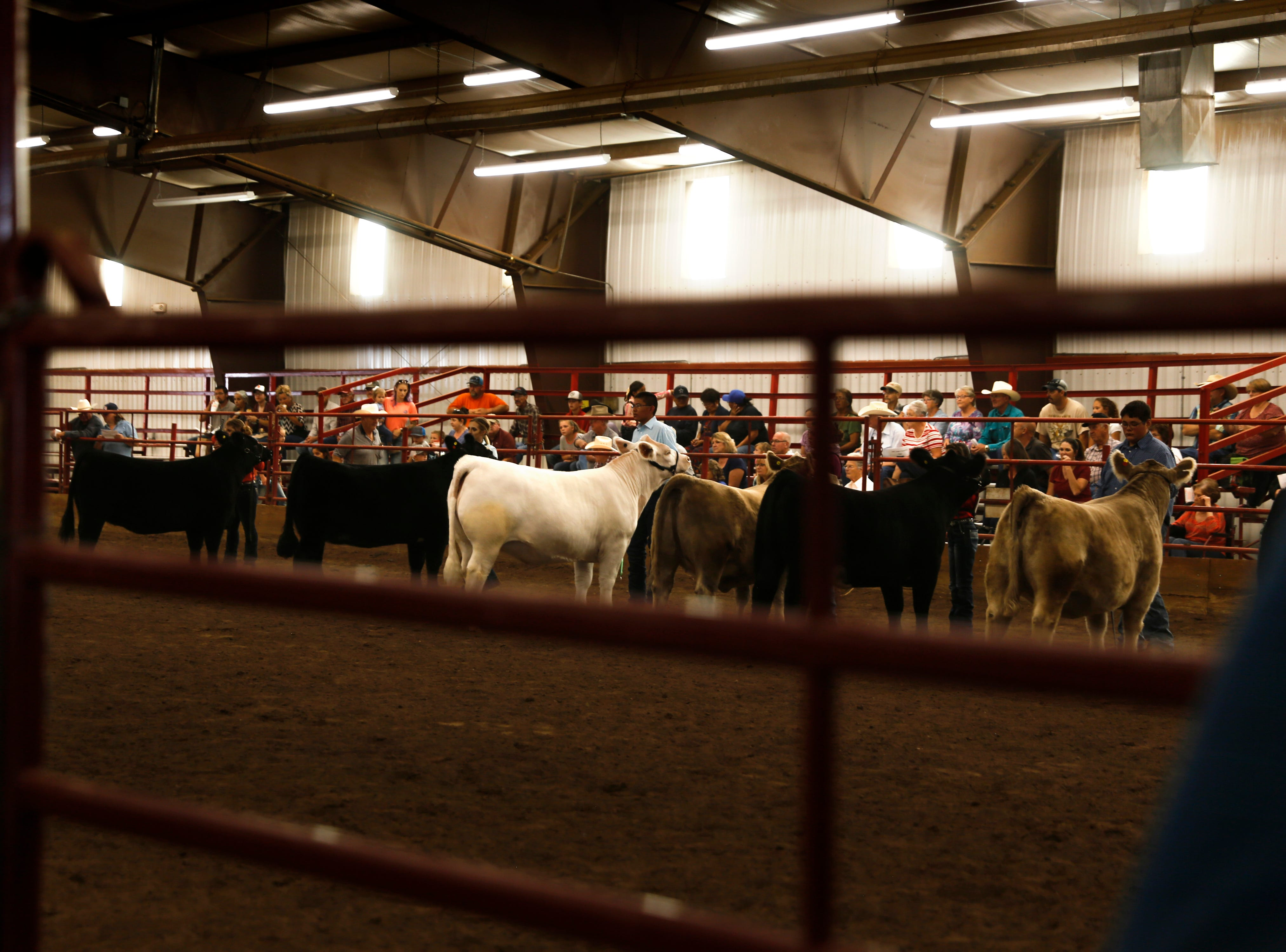 Steers are judged during the annual beef show, Thursday, Aug. 16, 2018 at the San Juan County Fair at McGee Park in Farmington.