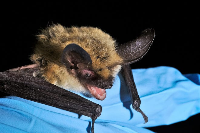 Western long-eared myotis is one of many bat species found in New Mexico caves and abandoned mines. Photo assistance by Nikki Woodward El Malpais National Conservation Area.