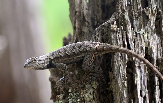 A northern fence lizard clings to a tree stump near Menantico Creek in Vineland on Thursday, August 16.