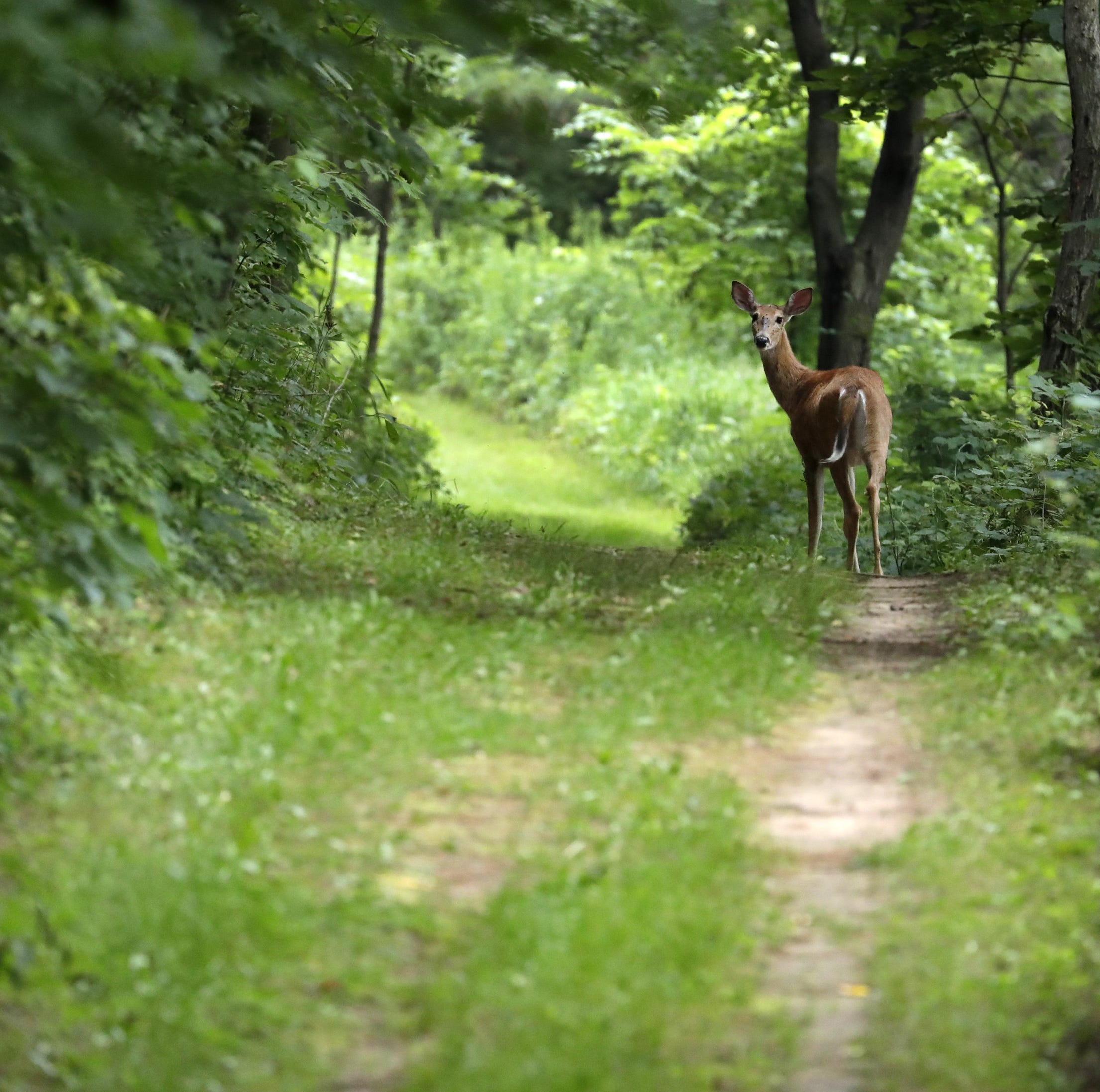 A deer wanders the Succession Loop trail at Mosquito Hill Nature Center Thursday, Aug. 16, 2018, in New London, Wis.