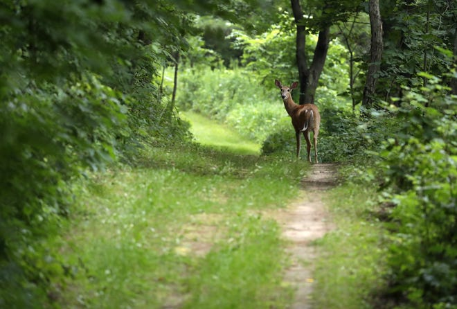 A deer wanders the Succession Loop trail at Mosquito Hill Nature Center near New London earlier this month.