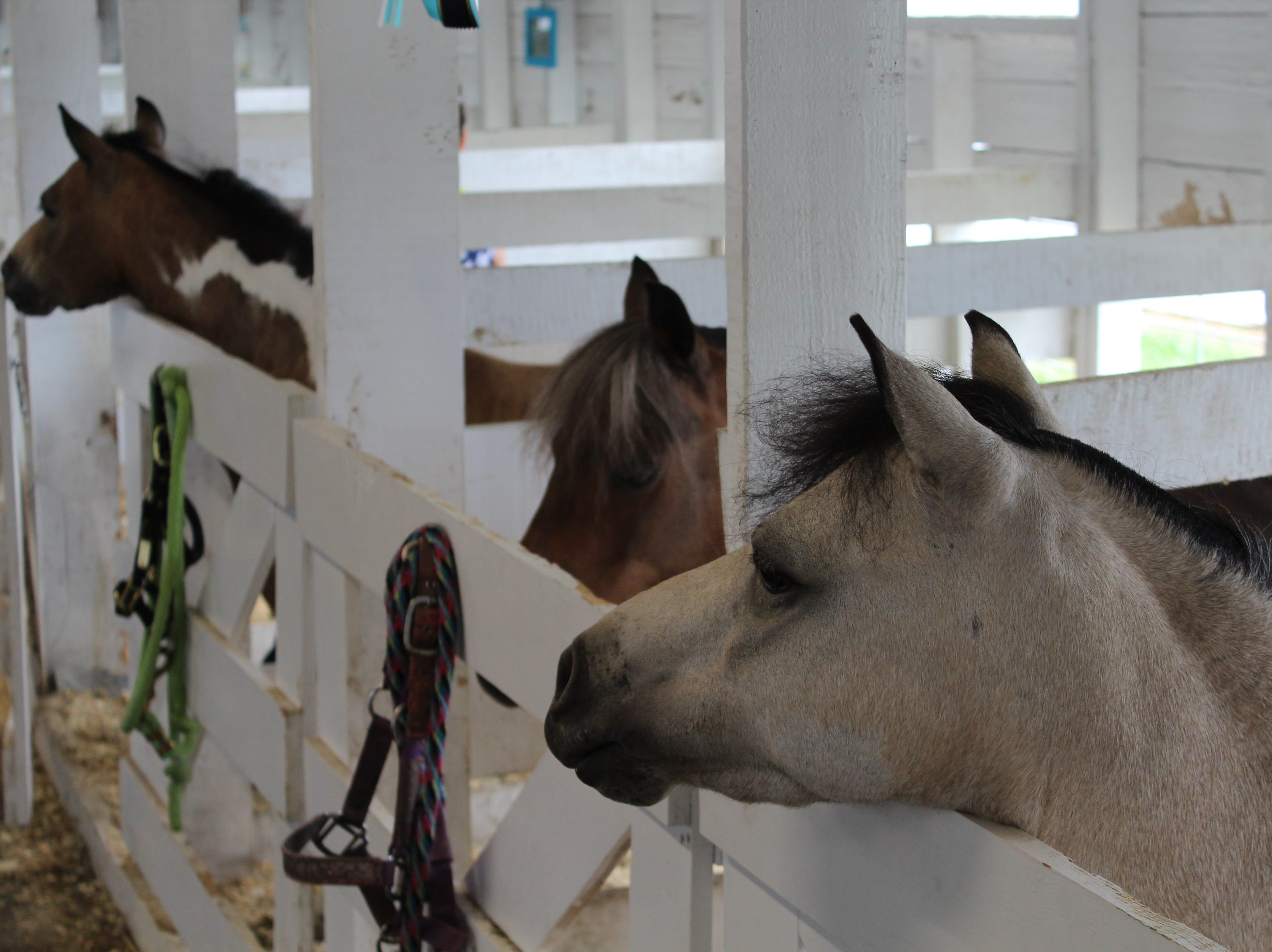 Miniature horses are a fair favorite at the Calhoun County Fair.
