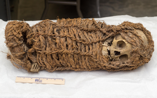 The Inca mummy is approximately 19.5 inches long. The head is turned over the left shoulder but from photo evidence of the artifact from the 1950s, this shift happened within the last several decades.