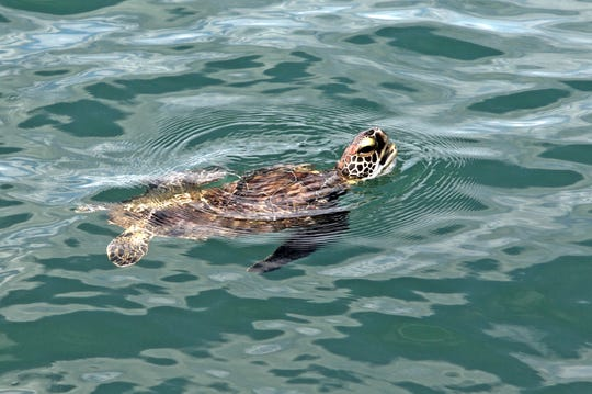 Sea turtles in the Gulf along Harvey's path seemed to have fared well, as did the endangered Kemp's ridley nesting season, said Donna Shaver, chief of the Division of Sea Turtle Science and Recovery at the National Park Service.