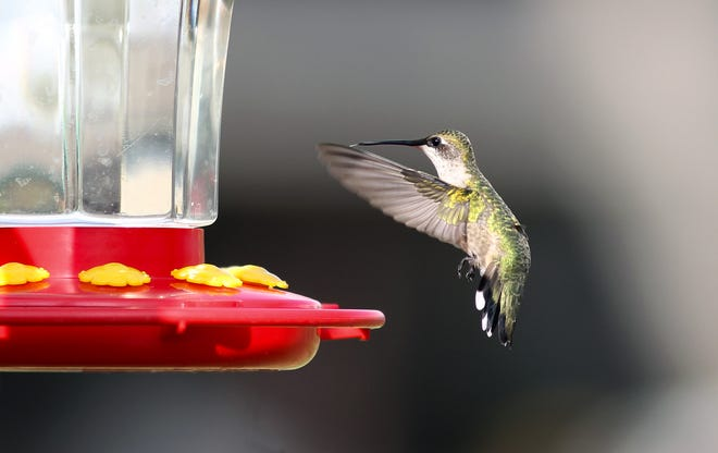 Shipments of hummingbird feeders came pouring into Rockport, Texas, after Hurricane Harvey to make up for the absence of flowering plants.