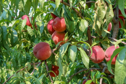 New Jersey Secretary of Agriculture Douglas H. Fisher today highlighted National Peach Month with a visit to Melick's Town Farm in Hunterdon County.