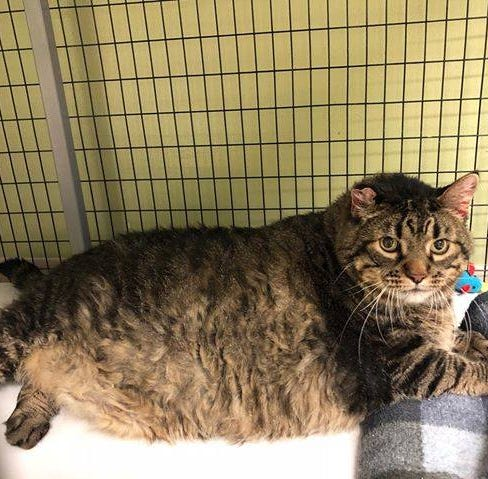 Meet Meatloaf, a 30-pound cat up for adoption in Iowa that just wants to be loved