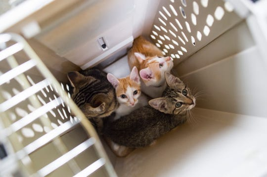 A litter of kittens waits to have their photo taken at the Larimer Humane Society in Loveland on Friday, August 17, 2018. Jim and Kathy Dow have been taking glamour shots of shelter pets to give them a better chance of adoption.