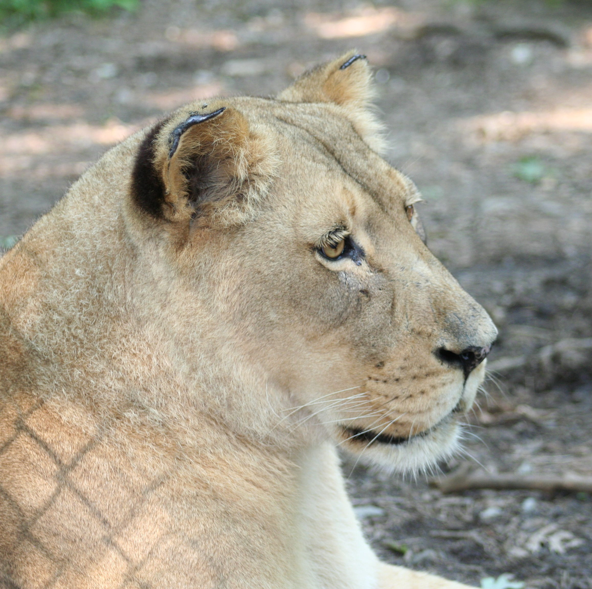 Zoo Knoxville announces death of 23-year-old African lion Sylvan