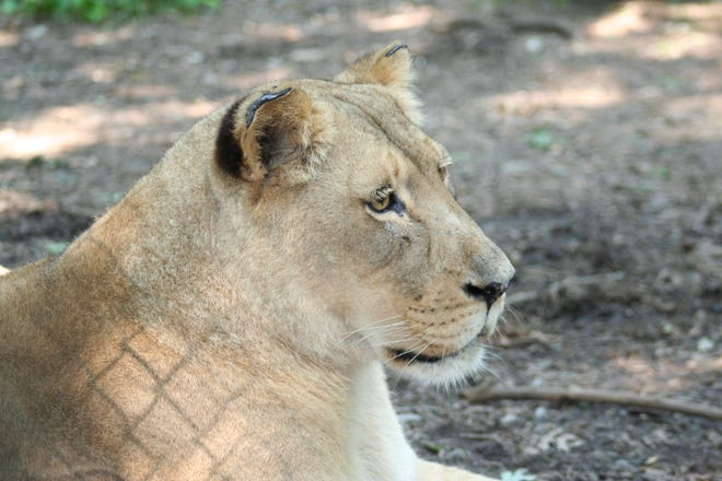 Zoo Knoxville's African lion Sylvan was humanely euthanized Friday morning. She was 23.