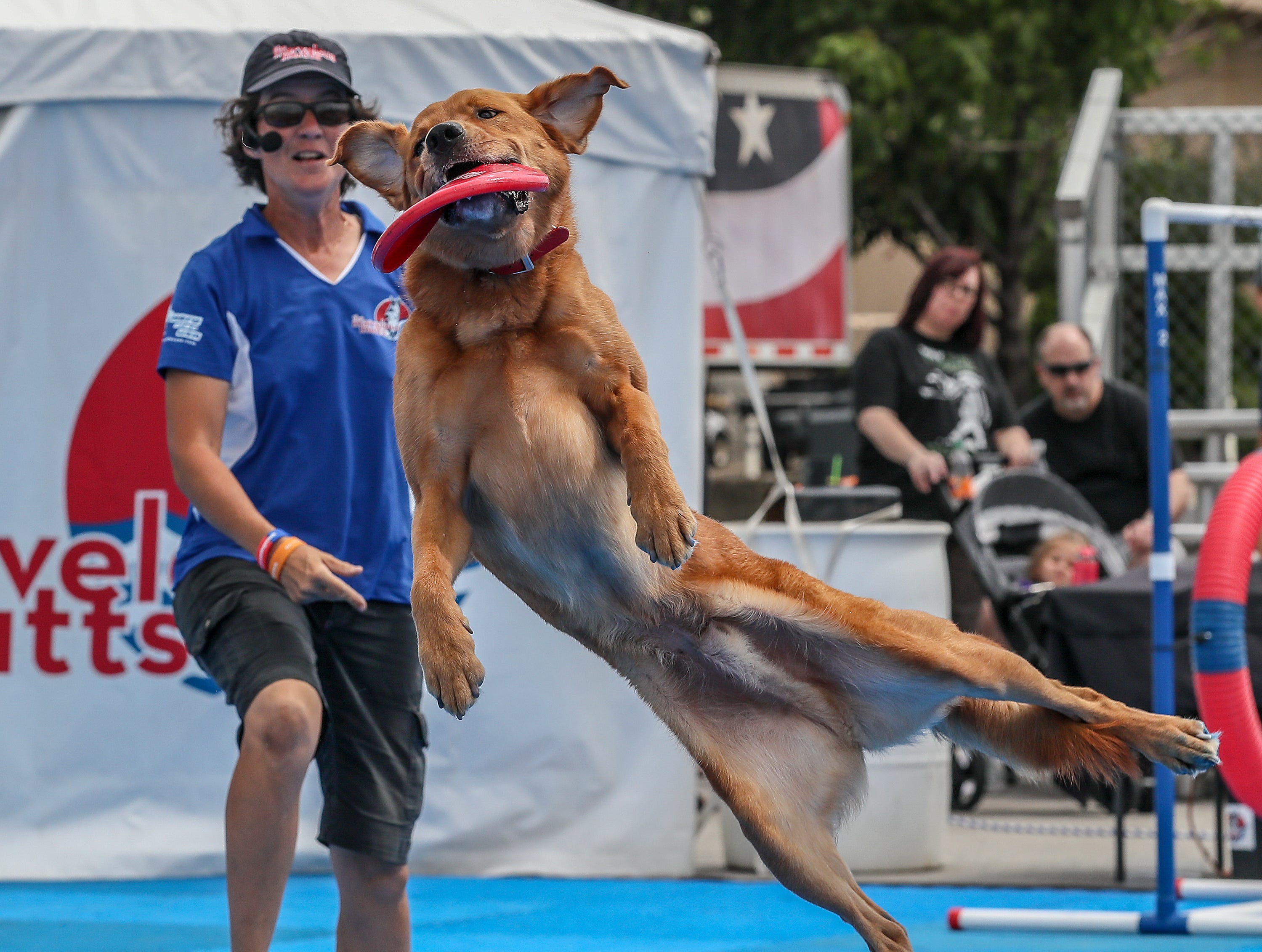 Yoohoo, a Lab mix, catches a disk thrown by Nadja during the Marvelous Mutts show at the Kentucky State Fair.August 17, 2018