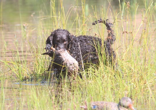 Porter, a 6-month-old American water spaniel owned by Roland Schmidt of Wrightstown, Wis. participates in a water test at the 2018 American Water Spaniel Club National Specialty and Hunt Test in Gordon, Wis. The American water spaniel is the official Wisconsin dog breed.