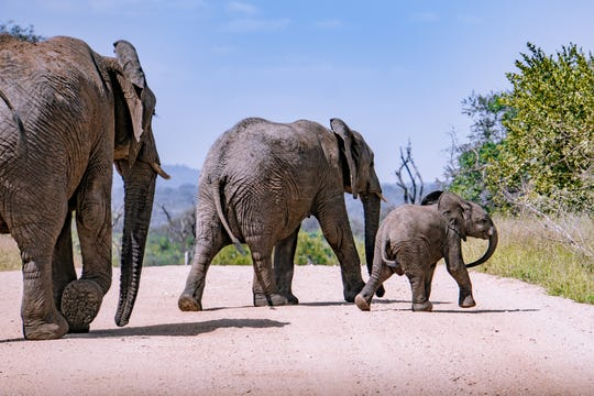 Three elephants cross the road in Kruger National Park, South Africa. African elephants have a gestational period of 645 days, one of the longest in nature.