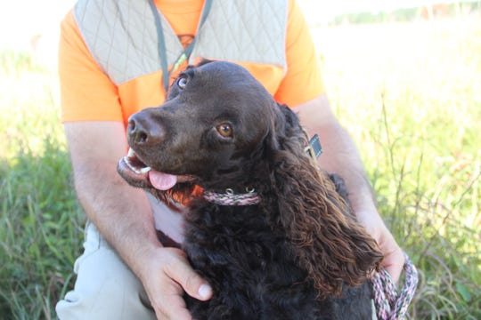 Maddie, a 9-month-old American water spaniel, sits with her owner, Mike Zarlenga of Alexandria, Va., at the 2018 American Water Spaniel Club Specialty and Hunt Test in Gordon, Wis.