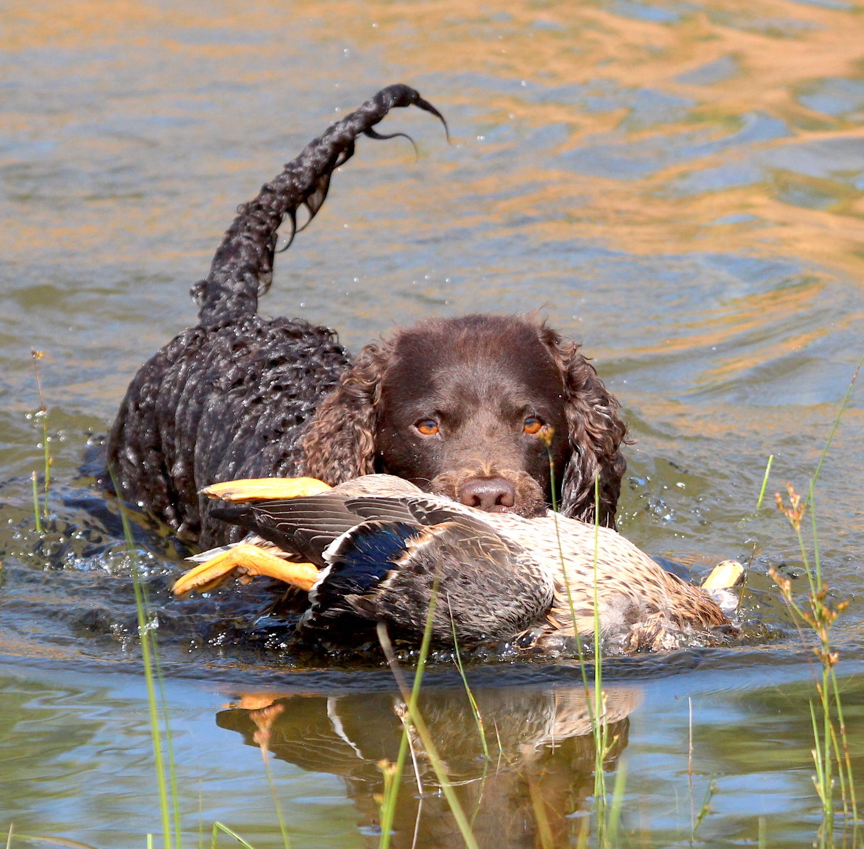 An American water spaniel makes a retrieve at the 2018 American Water Spaniel Club National Specialty Championships in Gordon, Wis. The American water spaniel is the official Wisconsin dog breed. The American Water Spaniel Club event was held Aug. 8 to 12.