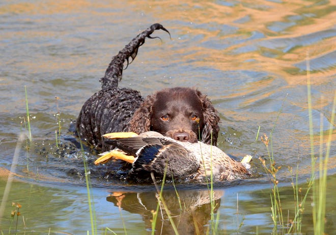 An American water spaniel makes a retrieve at the 2018 American Water Spaniel Club National Specialty and Hunt Test in Gordon, Wis. Known to be intelligent, hard-working and versatile, the American water spaniel is the official Wisconsin dog breed. The American Water Spaniel Club event was held Aug. 8 to 12.