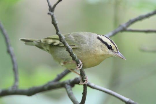 A worm-eating warbler at Slabsides.