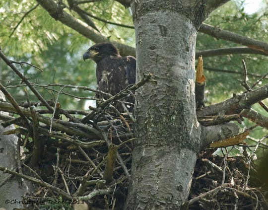 Young bald eagles in a nest discovered in spring 2018 near the Oradell Reservoir where Williams plans to upgrade part of its pipeline.