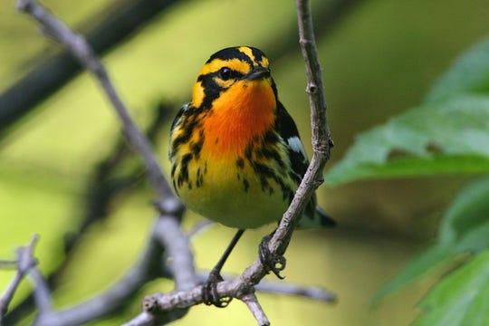 Blackburnian warbler at Slabsides.