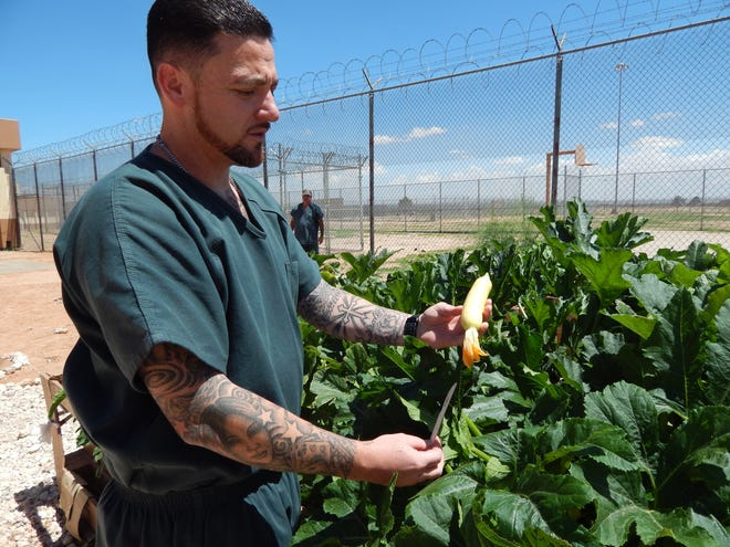 Christopher Dee holds a yellow squash in July at the Southern New Mexico Correctional Facility. Dee is involved in the prison's therapeutic garden program that was founded in 2016 with assistance from the Doña Ana County Cooperative Extension Service, part of New Mexico State University's College of Agricultural, Consumer and Environmental Sciences.