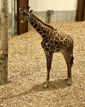 Iggy, a 1-year-old Masai giraffe, has just arrived at Seneca Park Zoo.