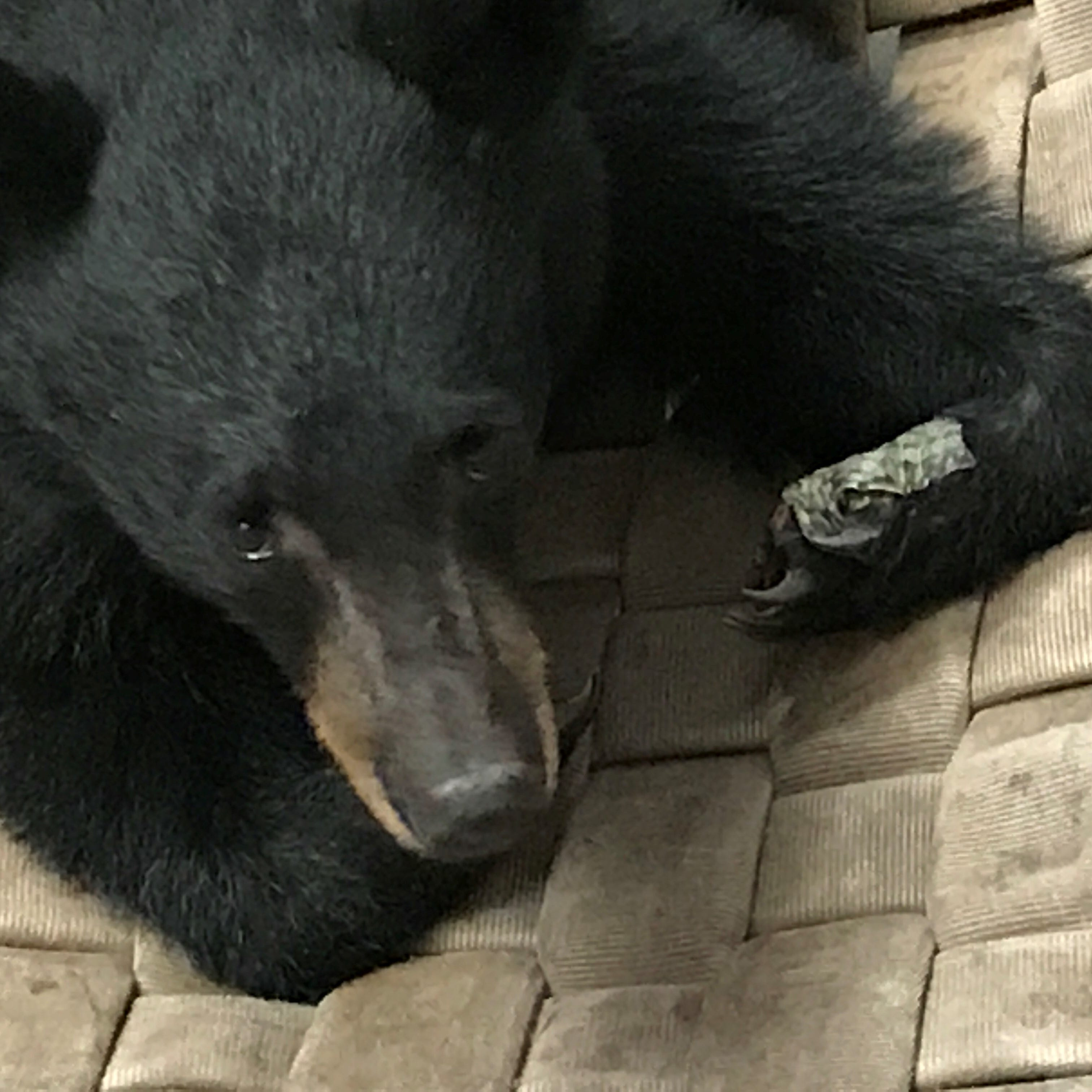 Is the spunky Carr Fire bear missing her mama?