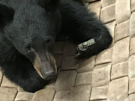 The Carr Fire bear rests on her hammock as her paws heal following surgery. Fish bandages made from tilapia skin were sewn onto her paws.