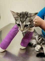 Bullet had her amputation, which was fully funded by a Concho Valley Paws Facebook post.