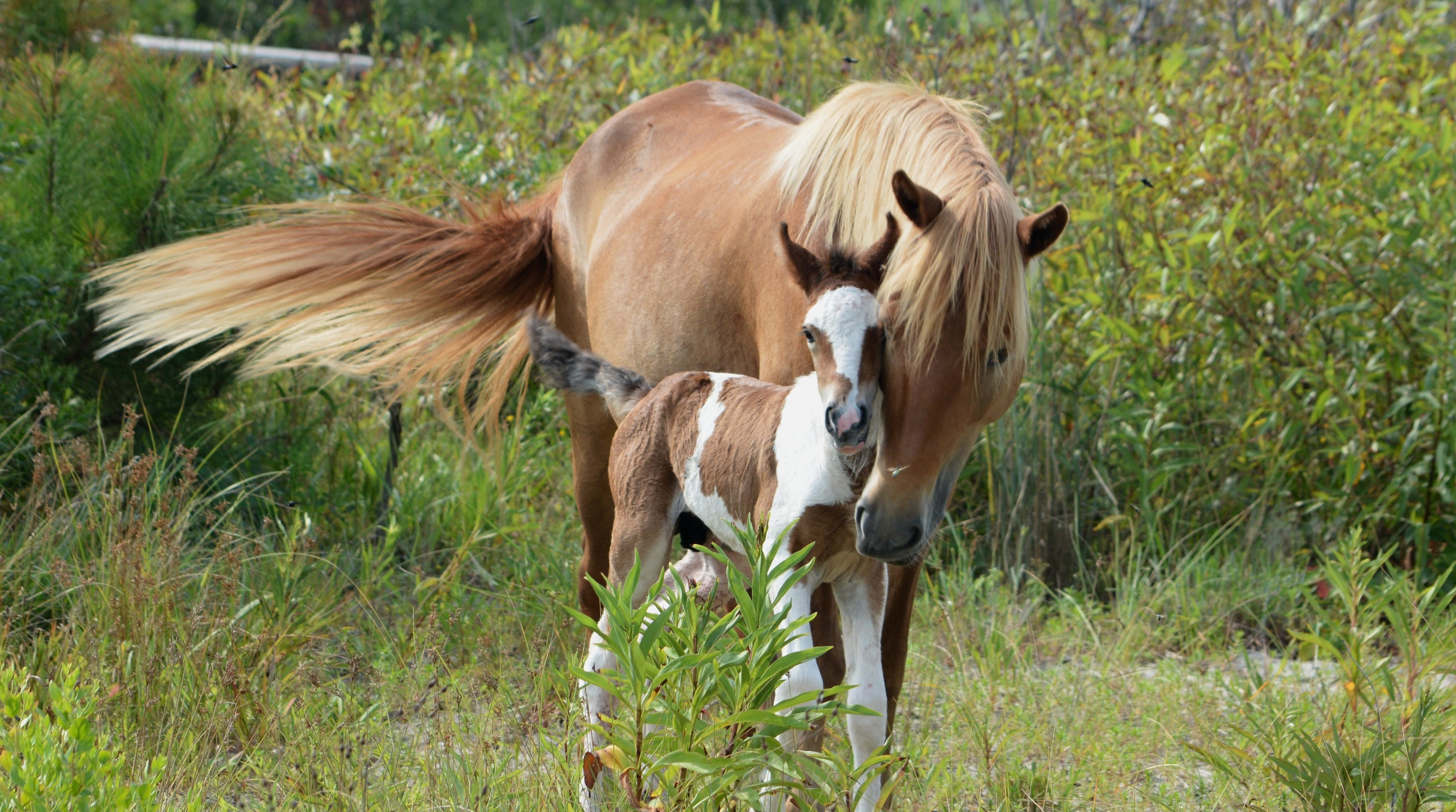 assateague island herd welcomes new foal