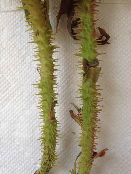 Excessive thorns on infected rose canes.