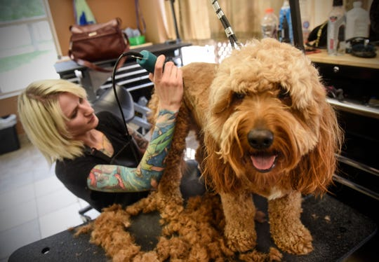Elizabeth Gapinski concentrates on a trim for a dog Thursday, Aug. 16, at Knotty Paws in Sartell.
