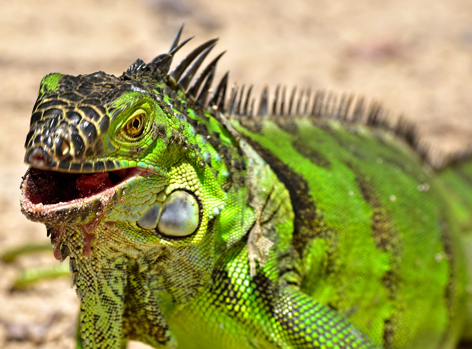 Jim Mandeville found a large and colorful iguana in Hobe Sound.