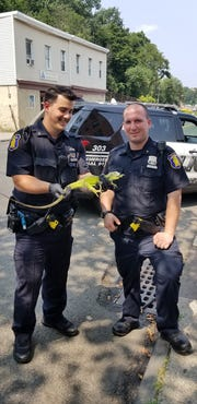 Yonkers Police Officers Michael Vataj and Nicholas Larrabee pose with an iguana found Thursday, August 16, 2018, hanging out on a parked car on New Main Street.