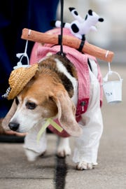 "Amber, a beagle, dresses as a Milkmaid at the East Tennessee Historical Society History Fair in downtown Knoxville, Tennessee on Saturday, August 18, 2018. The fair included a variety of antiques, crafts, historical actors and a ""history hound"" dog costume contest."