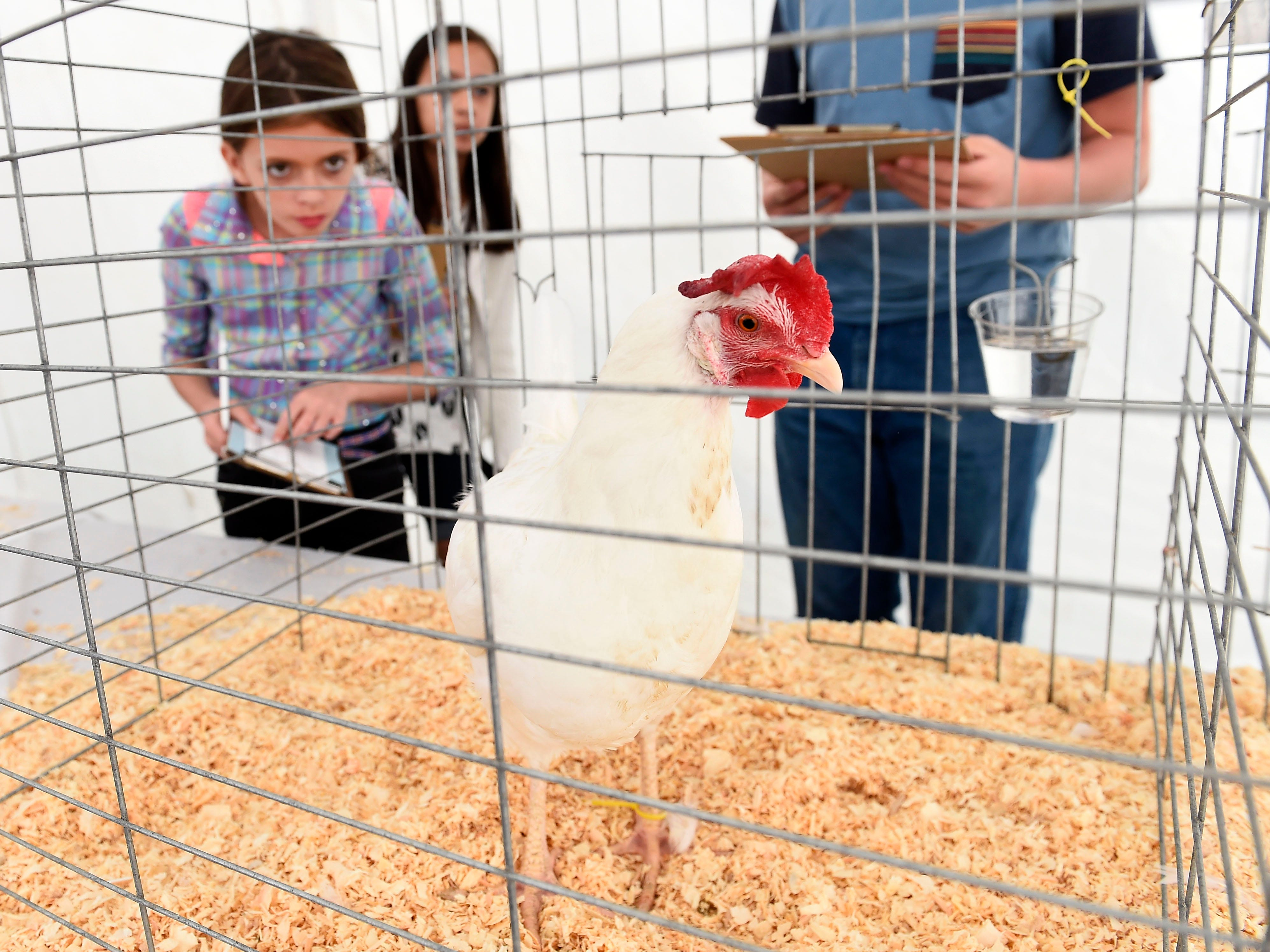 Kendra Sellers, left, competes in the 4-H poultry judging contest at the Tennessee Valley Fair, Sept. 12, 2015. Contestants compete to identify interior and exterior of eggs, live birds, parts identification and several other items.